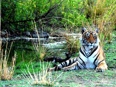 Тигриное шоу - национальный парк Индии